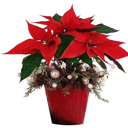 Le poinsettia ou etoile de no l livraison sur nancy for Plante noel rouge