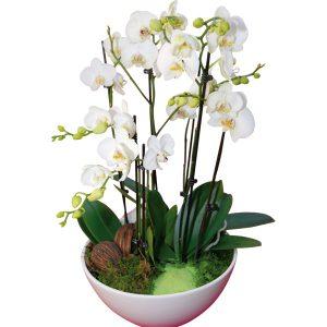 Orchidée blanche en coupe Blandine